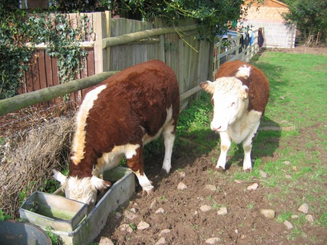 Hereford Cattle, Ashford Carbonel