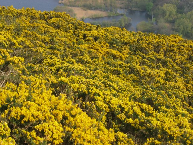 Gorse on Arthur's Seat