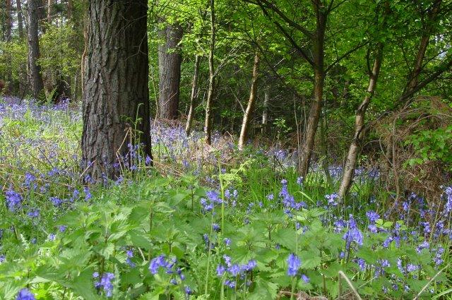 Bluebells. Shilford West Wood