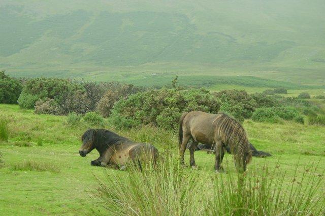 Fell ponies at Mungrisdale