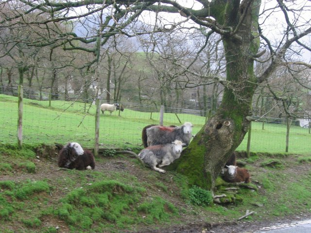 Roadside Herdwicks