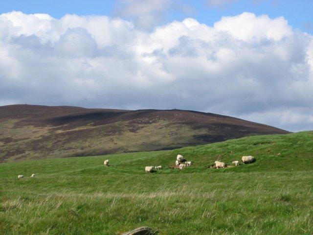 Lambs on Harehead Hill