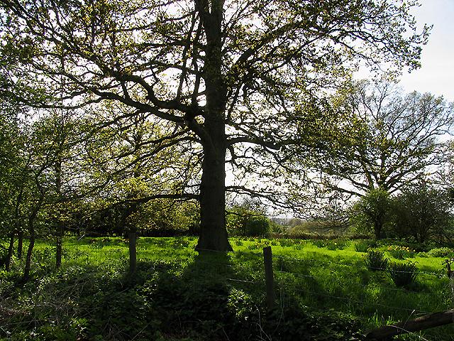 Oak Tree at Upper Church Farm