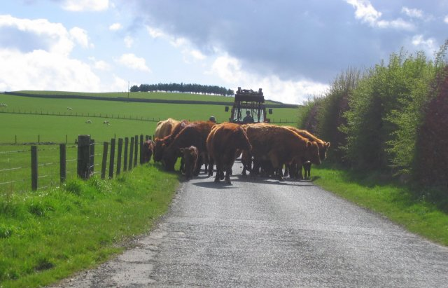 Driving cattle, Hartwoodmyres.