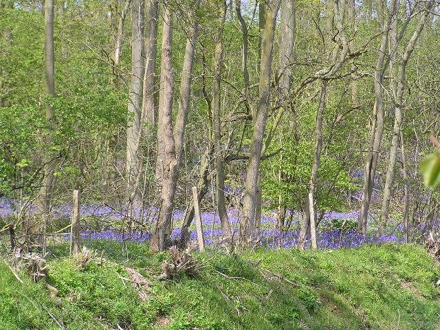 Bluebells in Bredicot Rough