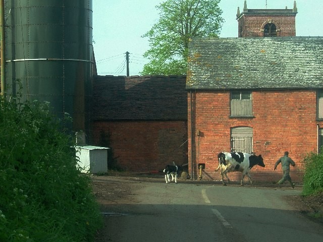 Man chased by cow