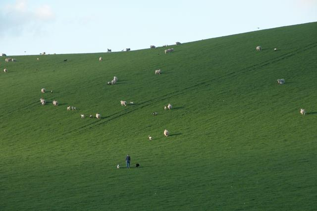 Sheep farming near Aldbourne