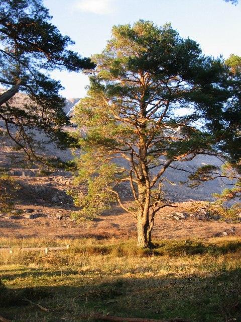 Pine tree, Glen Torridon.