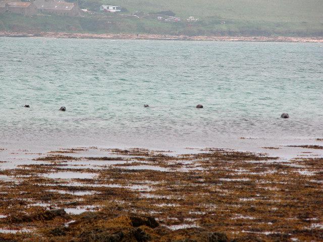 Seals at Bay of Creekland, Hoy