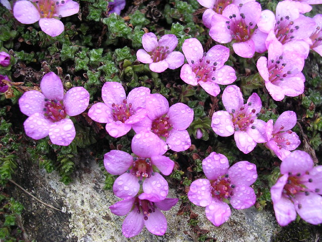 Purple Saxifrage in Ben Lawers NNR