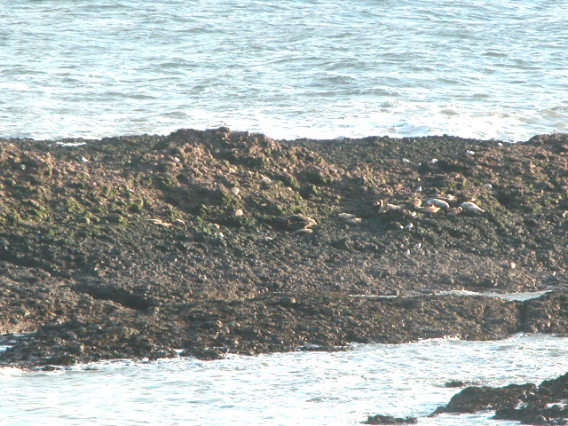 Seals on the shore at Catterline, Aberdeenshire