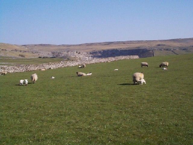 Spring lambs near Malham