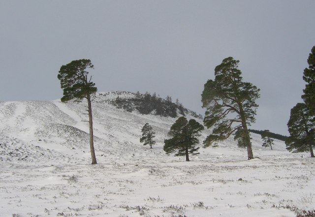 Pines beside the Derry track.