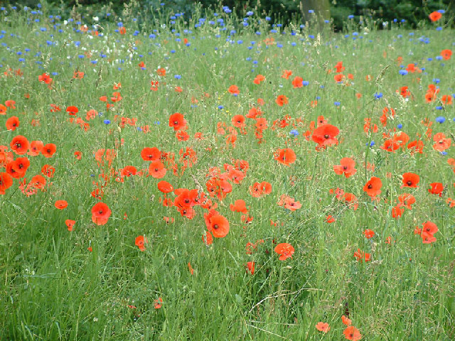 Poppies and cornflowers in Jubilee Park