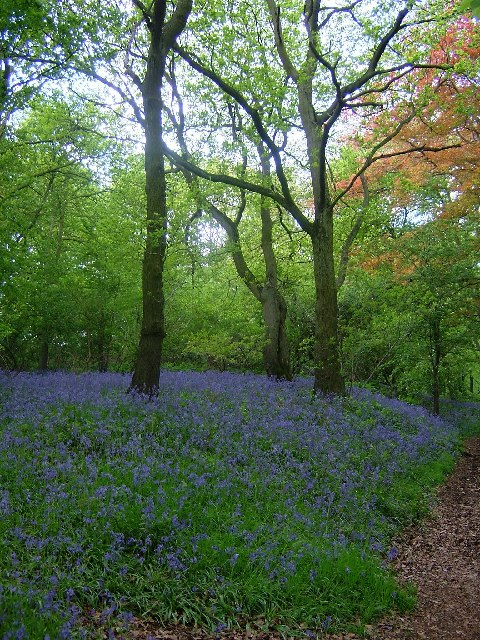 Bluebells in Purley Woods