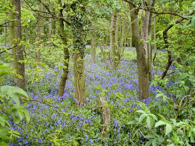 Bluebells in Colonel's Covert