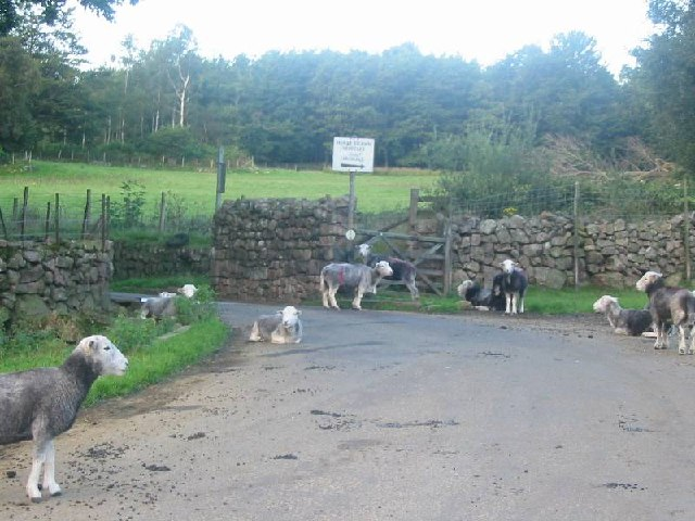 Sheep grazing by a cattle grid