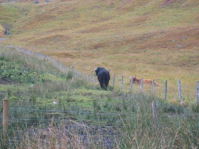 Highland bull, Glen Dessarry