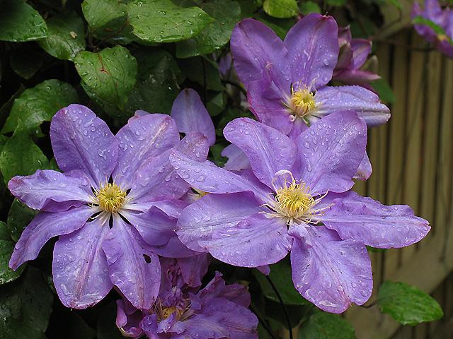 A suburban Garden Flower