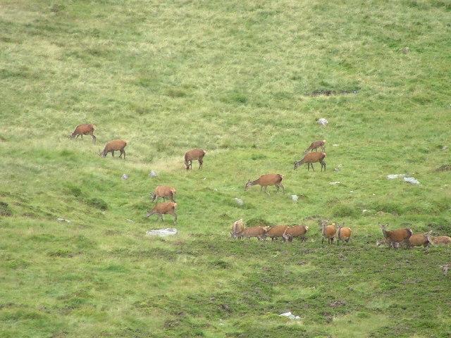 Deer grazing in Corrie on Ben Gulabin