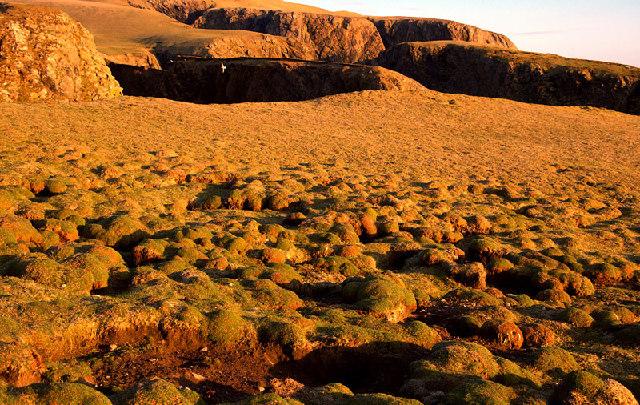 Sea Pink clumps, west cliffs, Fair Isle