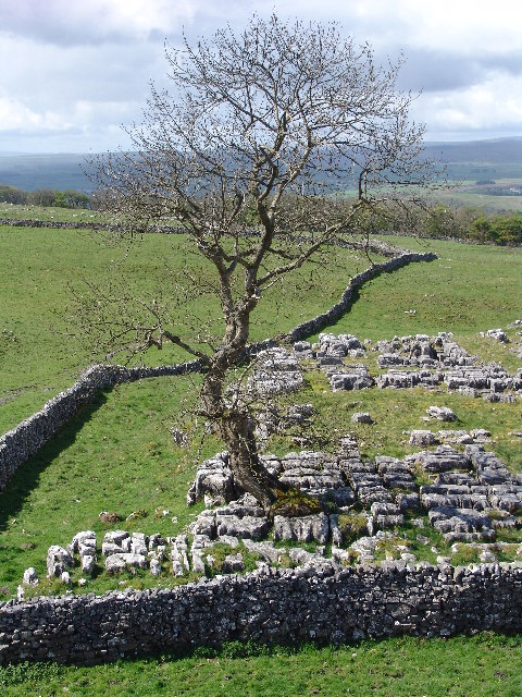 Ash tree at Winskill Stones