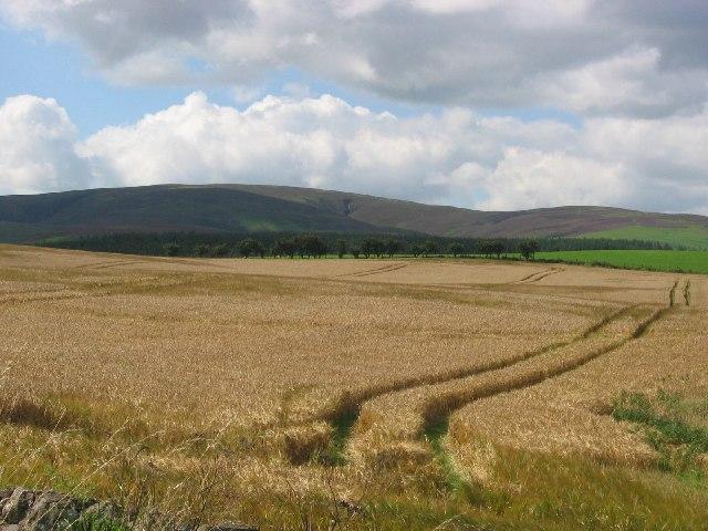 Barley, Longyester