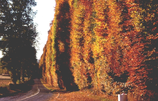 The Beech Hedge at Meikleour