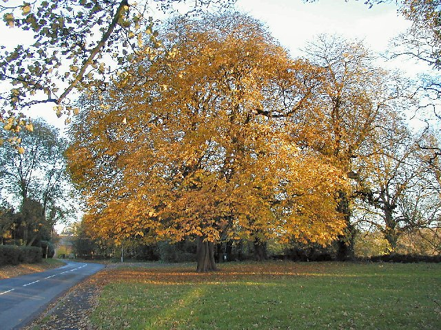 Chestnut Tree at West Leake