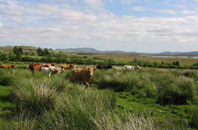 Cattle, Achnaluachrach