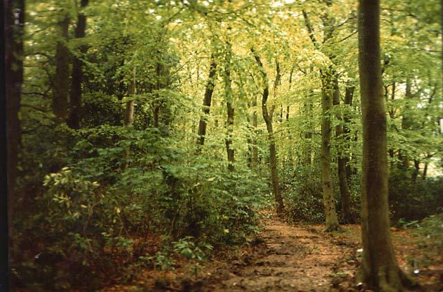 Beech Woods