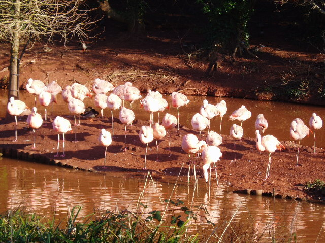 Flamingos at Paignton Zoo