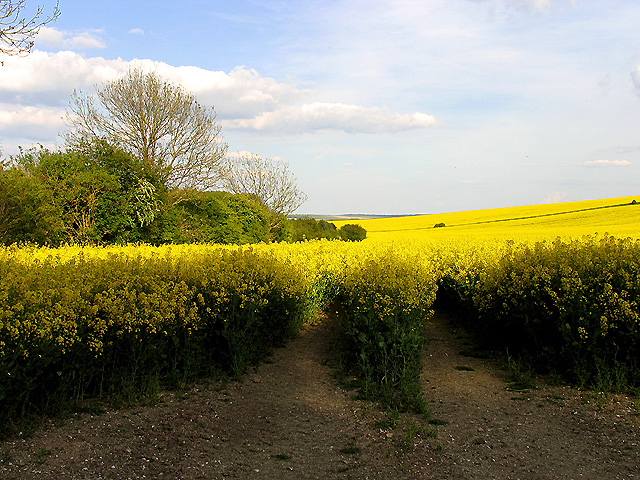 Rapeseed Farmland East Hendred