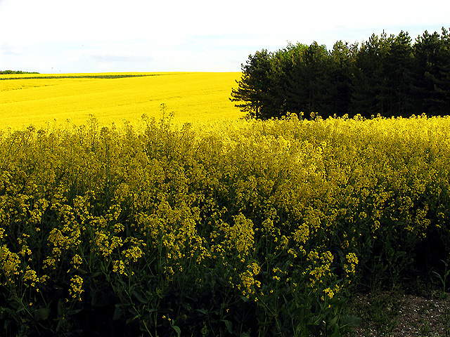 Rapeseed Farmland and Foredown Plantation