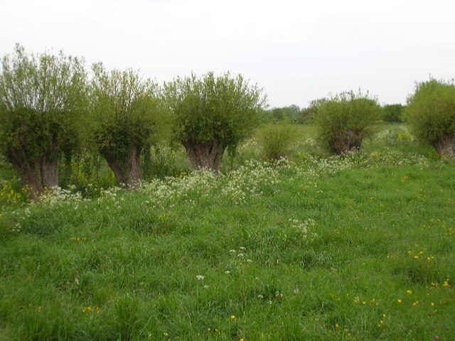 Pollarded willows near Kingsbury Episcopi