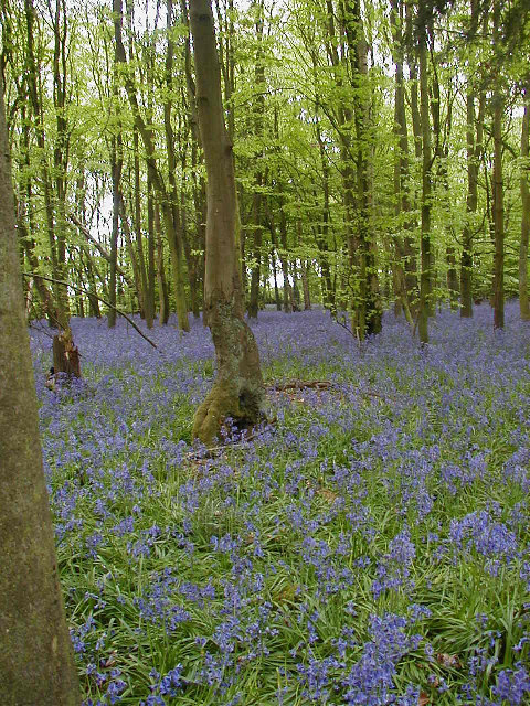Bluebells in Row Wood