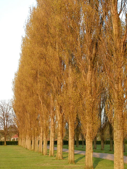 Poplars at Costello Playing Fields, Pickering Road.