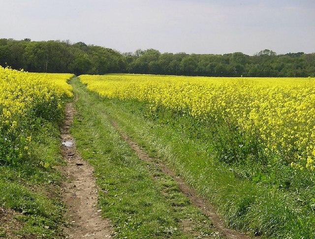 Lidsing, Kent - oilseed rape