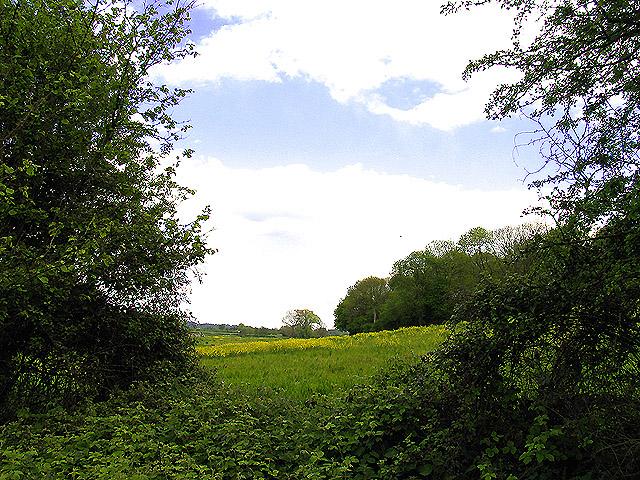 Rapeseed Farmland and Highfield Copse