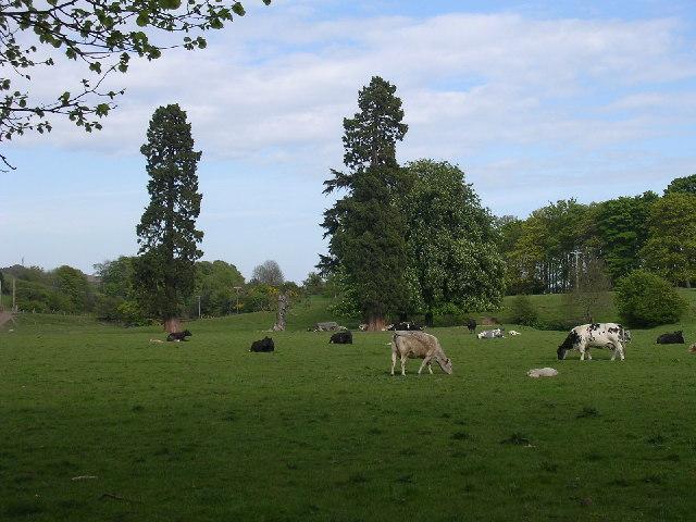 Cattle grazing on Linlathen farm