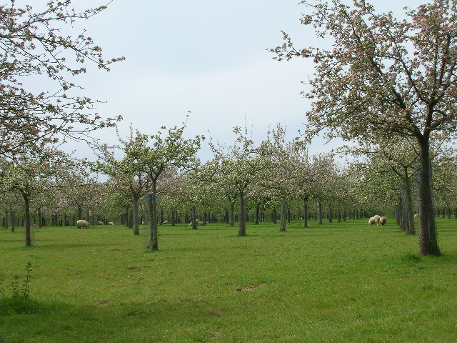 Cider apple orchards at Over Stratton