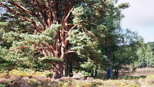 Old Scots Pine near Loch Gamhna