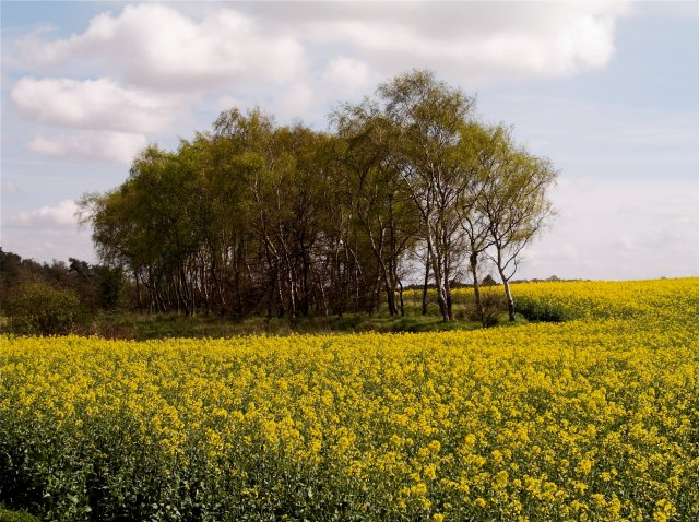 Farmland with Yellow Rapeseed