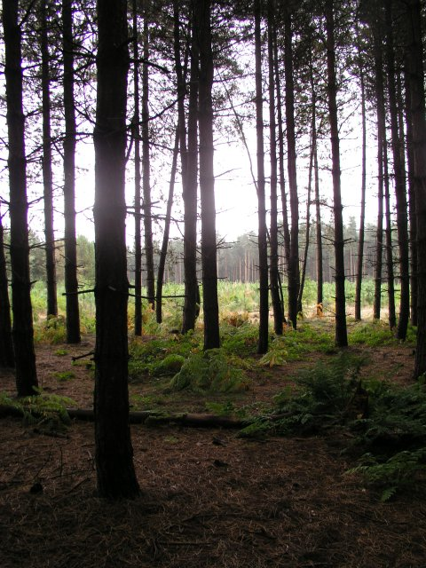Normanshill Wood, Pine Trees