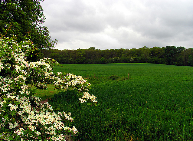 Wheat Farmland surrounded by Roebuck Wood: Hermitage