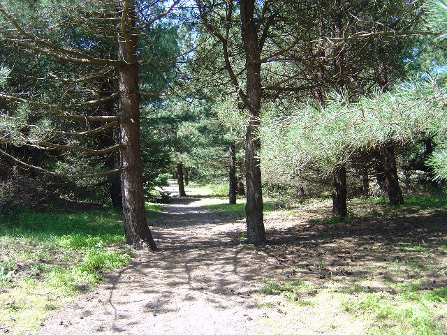 Pine Woods in Holme