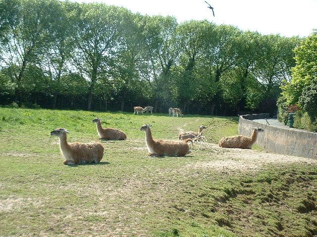 Llamas, Chester Zoo