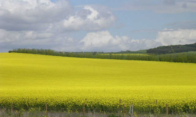 Rape fields north of Mains of Ardestie