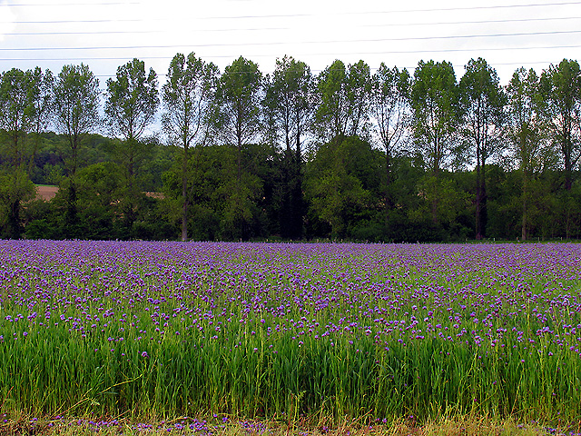 Farmland: Crop in bloom
