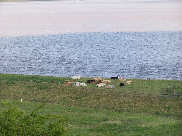 Cows on the Devils Causeway